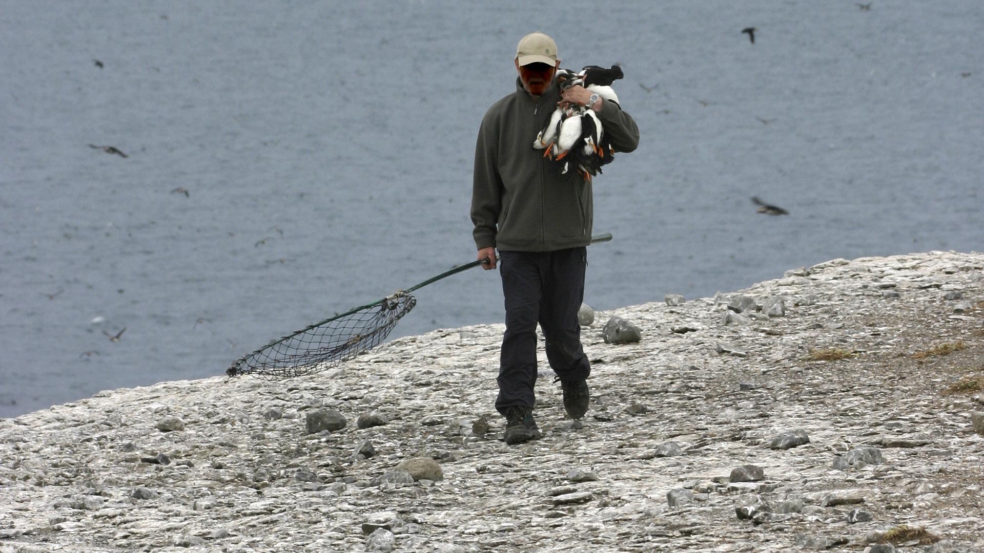 Atlantic Puffin - Hunting